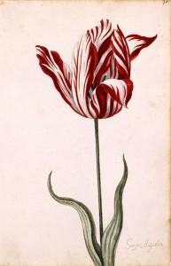 Semper Augustus — один из самых дорогих сортов Тюльпаномании